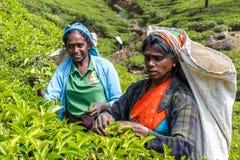 Τα gatherers τσαγιού συλλέγουν τα φύλλα στις φυτείες βουνών στοκ εικόνα