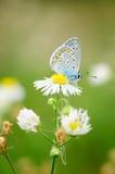 Τα idas Plebejus, μπλε Idas, είναι μια πεταλούδα στην οικογένεια Lycaenidae Όμορφη συνεδρίαση πεταλούδων στο λουλούδι Στοκ φωτογραφία με δικαίωμα ελεύθερης χρήσης