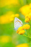 Τα idas Plebejus, μπλε Idas, είναι μια πεταλούδα στην οικογένεια Lycaenidae Όμορφη συνεδρίαση πεταλούδων στο λουλούδι Στοκ φωτογραφίες με δικαίωμα ελεύθερης χρήσης