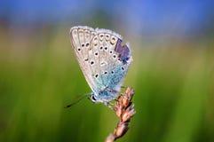 Τα idas Plebejus, μπλε Idas, είναι μια πεταλούδα στην οικογένεια Lycaenidae Όμορφη συνεδρίαση πεταλούδων στο μίσχο Στοκ Εικόνα