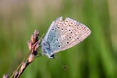 Τα idas Plebejus, μπλε Idas, είναι μια πεταλούδα στην οικογένεια Lycaenidae Όμορφη συνεδρίαση πεταλούδων στο μίσχο Στοκ Εικόνες