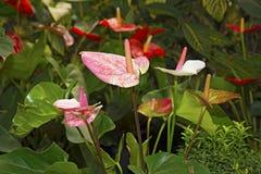 Τα juicy φωτεινά λουλούδια Krasbvye, κόκκινα πέταλα με το λευκό Anthurium Στοκ φωτογραφίες με δικαίωμα ελεύθερης χρήσης