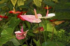 Τα juicy φωτεινά λουλούδια Krasbvye, κόκκινα πέταλα με το λευκό Anthurium Στοκ Εικόνα