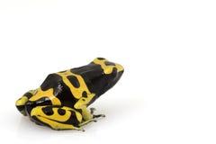τα leucomelas βατράχων βελών dendrobates δηλ&et Στοκ Φωτογραφία