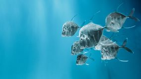 Τα lookdown ψάρια που κολυμπούν στο νερό Στοκ φωτογραφία με δικαίωμα ελεύθερης χρήσης