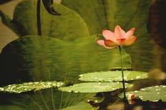 Τα lotuses στη λίμνη Στοκ εικόνες με δικαίωμα ελεύθερης χρήσης