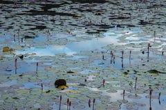 Τα lotuses Στοκ Εικόνες