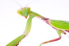τα mantis κοιτάζουν επίμονα σ&epsilo Στοκ Εικόνα