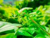 Τα mantis μιας επίκλησης διασχίζουν τα φύλλα Στοκ Φωτογραφία