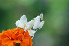 Τα mantis ορχιδεών αντιμετωπίζουν πέρα από τα λουλούδια Στοκ Φωτογραφία