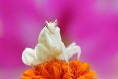 Τα mantis ορχιδεών αντιμετωπίζουν πέρα από τα λουλούδια Στοκ φωτογραφίες με δικαίωμα ελεύθερης χρήσης