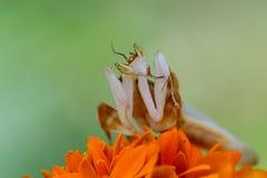 Τα mantis ορχιδεών αντιμετωπίζουν πέρα από τα λουλούδια Στοκ εικόνες με δικαίωμα ελεύθερης χρήσης