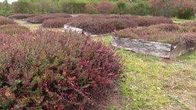 Τα mossberry φυτά μούρων των βακκίνιων αυξάνονται στη φυτεία αγροτικών κήπων απόθεμα βίντεο
