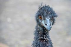 Τα novaehollandiae ΟΝΕ Dromaius είναι το δεύτερο μεγαλύτερο πουλί διαβίωσης από το ύψος στοκ εικόνες