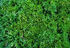 Τα occidentalis Thuja Arborvitae είναι ένα αειθαλές κωνοφόρο δέντρο στοκ φωτογραφία με δικαίωμα ελεύθερης χρήσης
