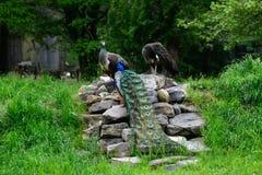 Τα peacocks Στοκ Φωτογραφίες