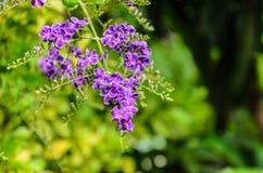 Τα purples στη φυλή της άνθισης Στοκ Εικόνες