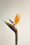 Τα reginae Strelitzia ανθίζουν, επίσης γνωστός ως λουλούδι γερανών ή πουλί του παραδείσου στοκ εικόνες