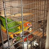 Τα solstitialis Aratinga ήλιων parakeet στοκ εικόνες