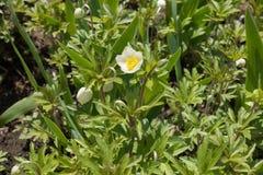 Τα sylvestris Anemone στην άνθιση Στοκ Εικόνες