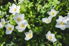 Τα sylvestris anemone Στοκ εικόνα με δικαίωμα ελεύθερης χρήσης