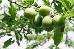 Τα Unripe κίτρινα δαμάσκηνα ωριμάζουν στο δέντρο στην επαρχία στοκ εικόνα με δικαίωμα ελεύθερης χρήσης