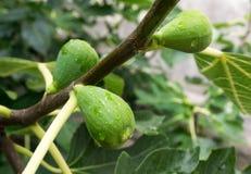 Τα Unripe σύκα στον κήπο κλείνουν επάνω στοκ εικόνες με δικαίωμα ελεύθερης χρήσης
