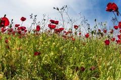 Τα wildflowers - κόκκινα anemones Στοκ Φωτογραφία