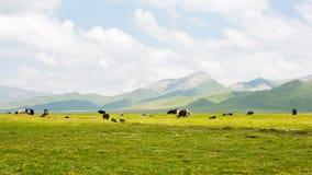 Τα yaks στα λιβάδια ορεινών περιοχών στοκ εικόνες
