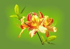 Τα yellow-orange λουλούδια rhododendron διανυσματική απεικόνιση