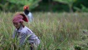 Τεθειμένος κυρίες σανός μαζί στη γεωργική γη στη Mai Chau απόθεμα βίντεο