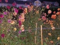 Τελευταία λουλούδια της εποχής τη νύχτα Στοκ Εικόνα