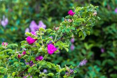 Τεμάχιο ενός πολύβλαστου rosehip θάμνου, που στερεώνεται πλουσιοπάροχα με τα ρόδινα λουλούδια κάτω από το χρυσό φως του ήλιου Αγά στοκ φωτογραφίες
