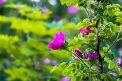Τεμάχιο ενός πολύβλαστου rosehip θάμνου, που στερεώνεται πλουσιοπάροχα με τα ρόδινα λουλούδια κάτω από το χρυσό φως του ήλιου Αγά στοκ εικόνες με δικαίωμα ελεύθερης χρήσης