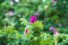 Τεμάχιο ενός πολύβλαστου rosehip θάμνου, που στερεώνεται πλουσιοπάροχα με τα ρόδινα λουλούδια κάτω από το χρυσό φως του ήλιου Αγά στοκ φωτογραφία