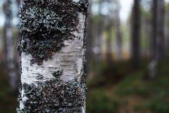 Τεμάχιο της άσπρης σημύδας, θολωμένο υπόβαθρο στοκ φωτογραφίες
