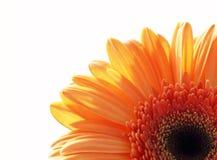 Τεμάχιο του λουλουδιού μαργαριτών gerber Στοκ φωτογραφία με δικαίωμα ελεύθερης χρήσης