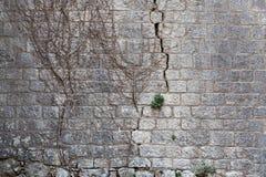 Τεμάχιο του πολύ παλαιού γκρίζου τοίχου πετρών με τα υπολείμματα των ξηρών νεκρών Στοκ φωτογραφία με δικαίωμα ελεύθερης χρήσης