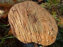 Τεμαχισμένο δέντρο Κόψτε τον κορμό Στοκ φωτογραφίες με δικαίωμα ελεύθερης χρήσης