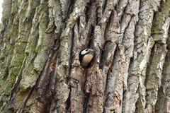 Τεμαχισμός δρυοκολαπτών κοίλος στο δέντρο για το πουλί φωλιών σε ένα κοίλο δέντρο στοκ φωτογραφία