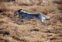 Τεντωμένο έξω σκυλί που τρέχει στον αέρα Στοκ Φωτογραφίες