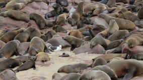 Τεράστια αποικία της καφετιάς σφραγίδας γουνών - λιοντάρια θάλασσας, άγρια φύση της Ναμίμπια, Αφρική απόθεμα βίντεο