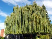 τεράστια ιτιά δέντρων στοκ φωτογραφία με δικαίωμα ελεύθερης χρήσης