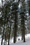 Τεράστια καλυμμένα δέντρα χιονιού στο δάσος Στοκ Φωτογραφία