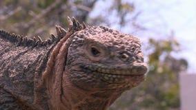 Τεράστια κινηματογράφηση σε πρώτο πλάνο iguana στη δύσκολη ακτή Galapagos των νησιών