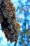 Τεράστια μακροχρόνια συστάδα πεταλούδων μοναρχών Στοκ φωτογραφία με δικαίωμα ελεύθερης χρήσης