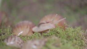 Τεράστια σαλιγκάρια του ερπυσμού ahaatin κατά μήκος της χλόης, σχετικά δραστήρια ζώα απόθεμα βίντεο