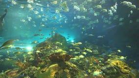 Τεράστια σχολεία των τροπικών ψαριών μαζί με τους μεγάλους καρχαρίες σε μια κοραλλιογενή ύφαλο απόθεμα βίντεο