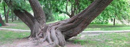 Τεράστιες ρίζες ενός παλαιού δέντρου στο πράσινο πάρκο, εικόνα πανοράματος στοκ εικόνες