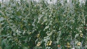 Τεράστιοι θάμνοι με τις ντομάτες σε ένα θερμοκήπιο απόθεμα βίντεο